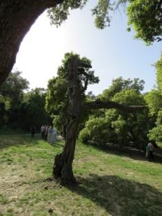 אלונים עתיקים בחורשת הארבעים