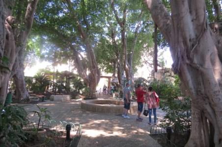 עצי פיקוס עתיקים במרכז המבקרים של עכו העתיקה