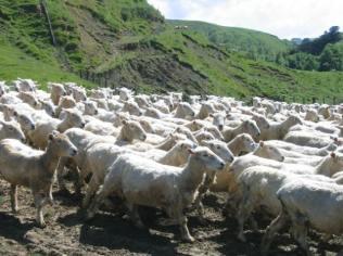 כבשים בניו זילנד