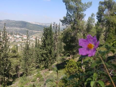 לוטם בשביל המעיינות בהרי ירושלים