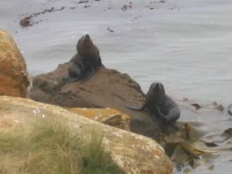כלבי ים ליד moeraki boulders
