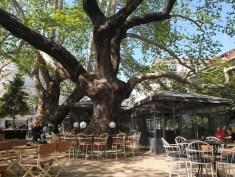 עץ הדולב הענק באדסה