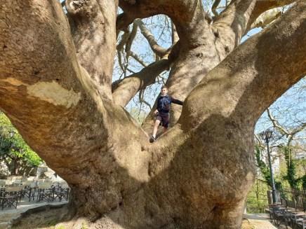 עץ הדולב בעיירה טסגרדה, חצי האי פיליון