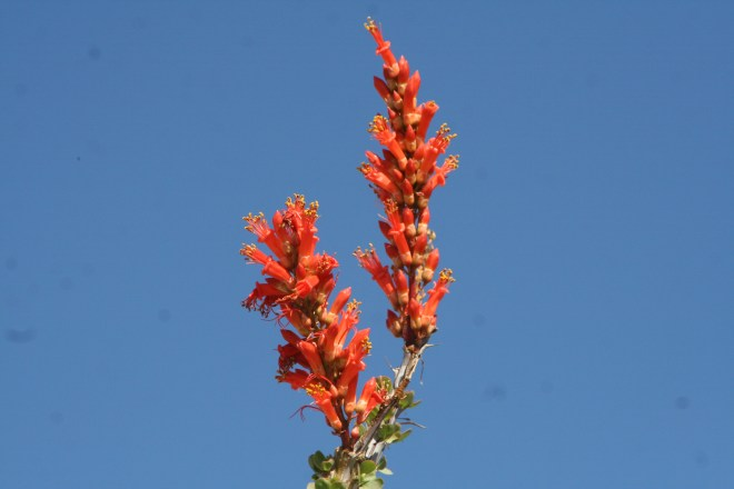 Ocatillo plant