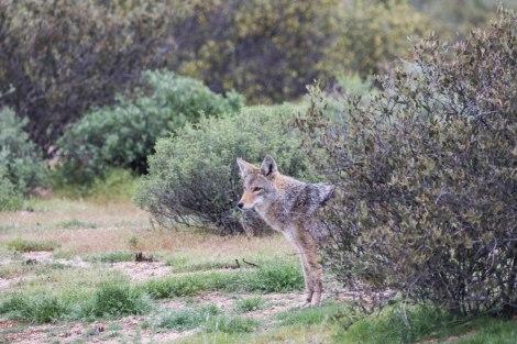 Coyote2-4M9A1030.jpg
