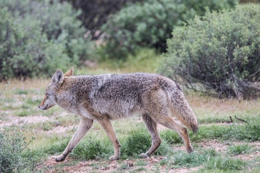 Coyote3-4M9A1033.jpg
