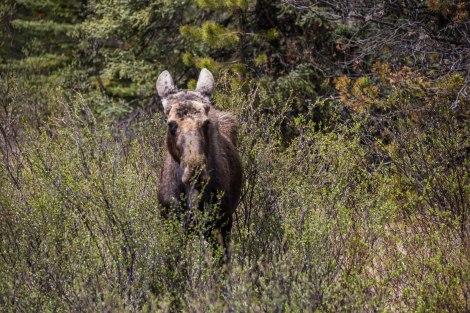 Caribou1.jpg