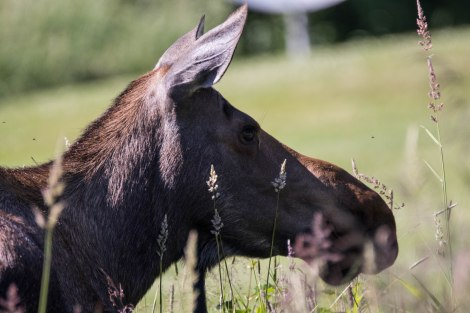 Moose1.jpg