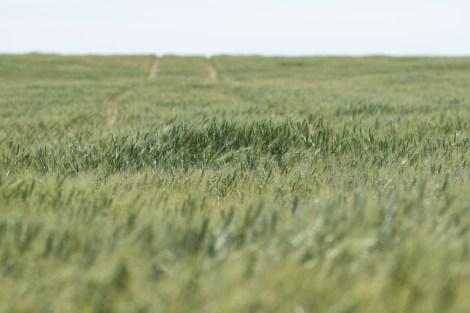 Wheat-01.jpg