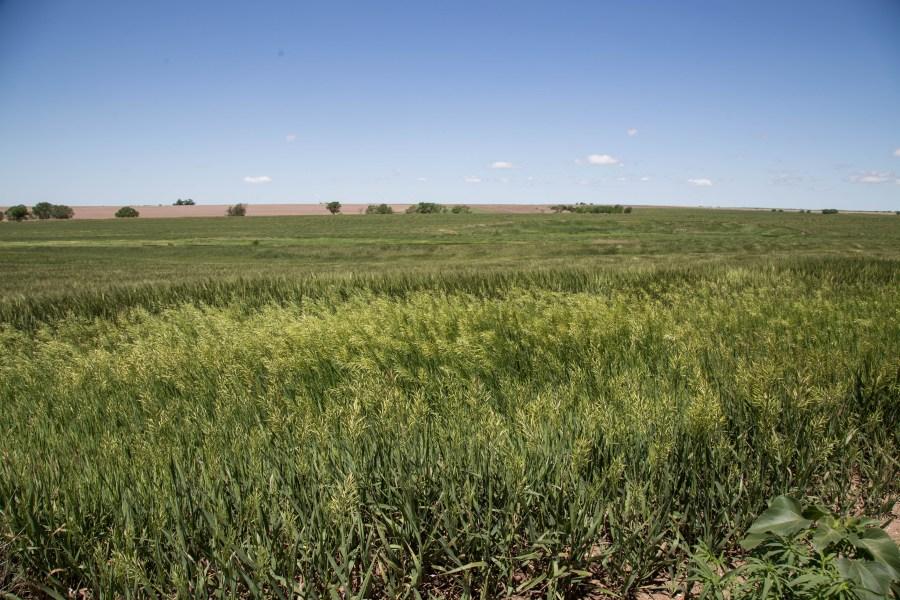 Wheat-02.jpg