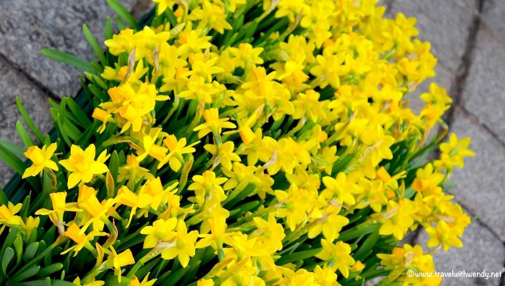 Daffodils in the walkway - Stuttgart