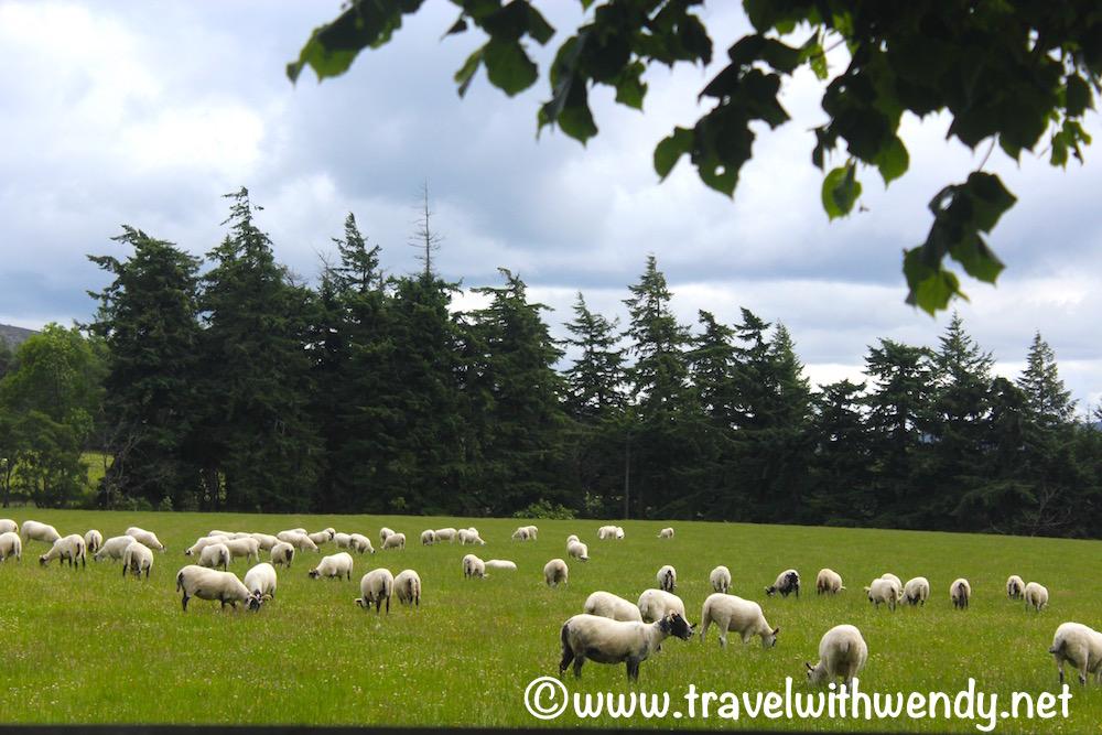 Highlands sheep