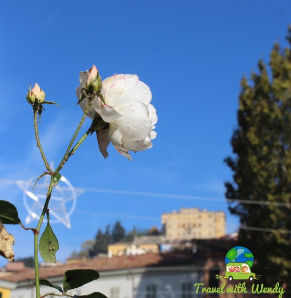 Fall roses in Piemonte