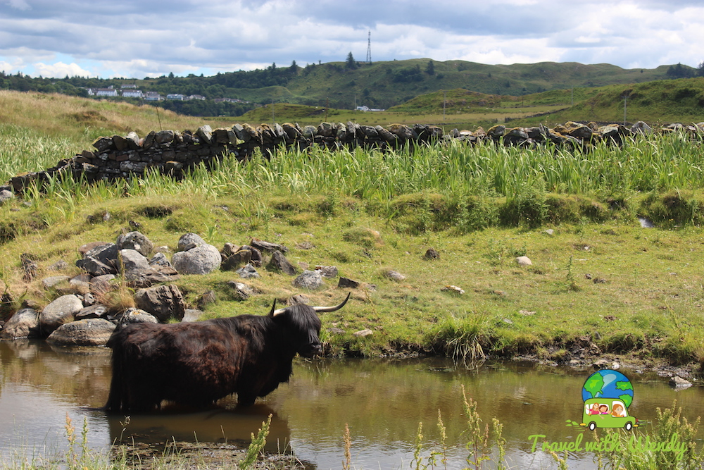 Hairy Cows of Scotland