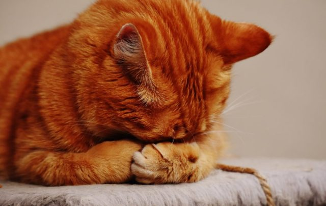 A ginger cat with its head in its paws sitting on a cat tree