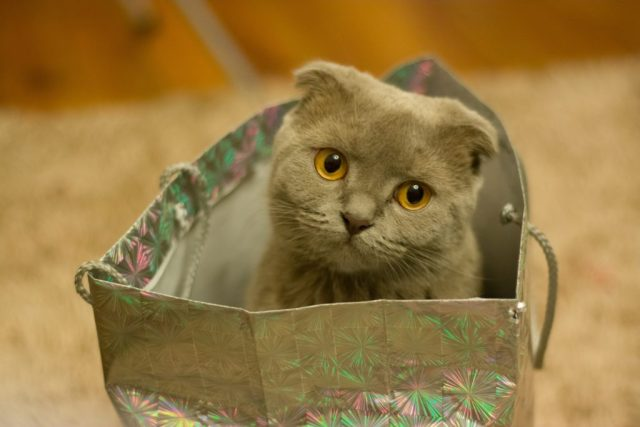 A gray cat sitting in a shiny gray gift bag.