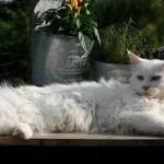 large-cat-lying-down