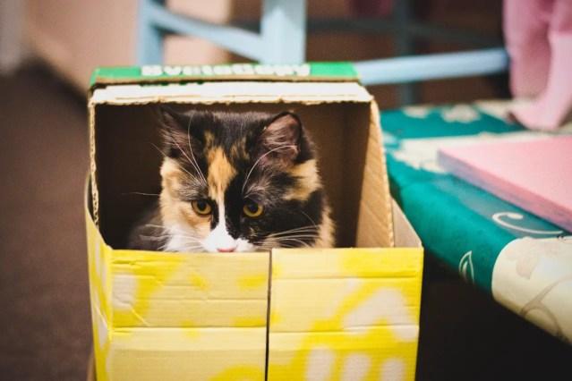 calico in a cardboard box