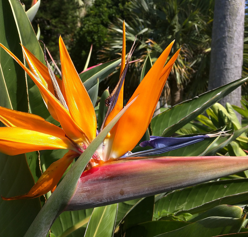 Bird of Paradise Flower - Bermuda | TravelXena.com