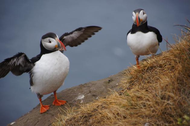 Things to do in Iceland with kids - spot puffins