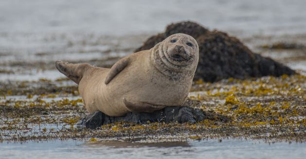 seal in Iceland