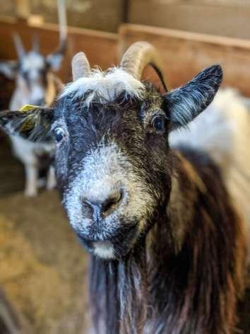 goat at Stóra Ásgeirsá