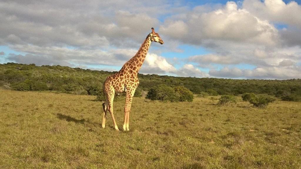 giraffe at Amakhala South Africa