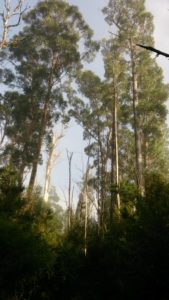 Towering Gum Trees
