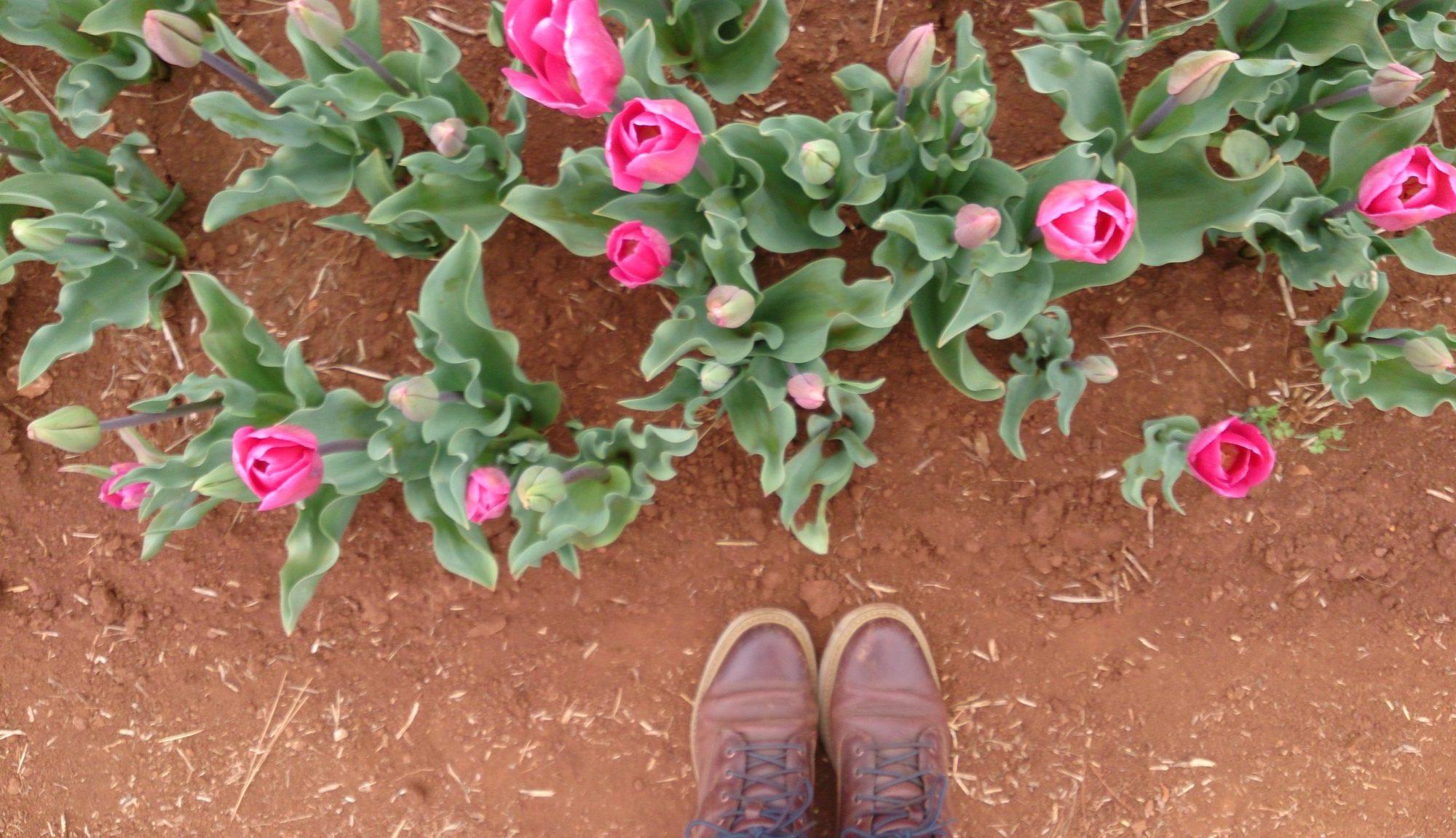 Traversing Table Cape Tulip Farm