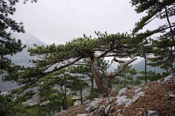 Flora de los Pirineos. Pino negro.