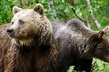 PirosLIFE: hacia la consolidación del oso pardo en los Pirineos