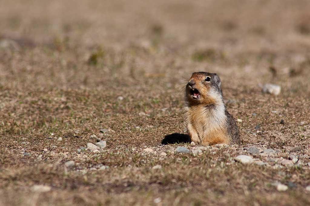 Marmota en los Pirineos / Foto (cc) Gavin Schaefer (Flickr)