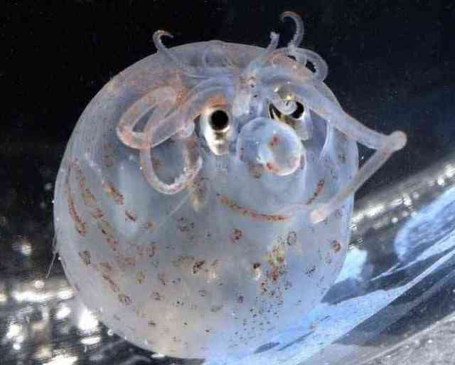 piglet squid alias c umi babi - Ga nyangka, 13 Hewan teraneh di dunia ini emang beneran ada