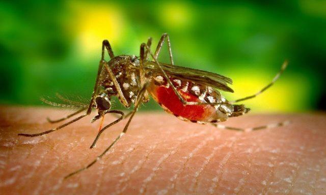 nyamuk culex - Apa Itu Japanese Encephalitis(JE)?, bagaimana akibat dan cara mencegahnya