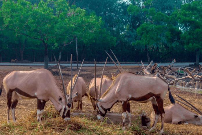 Safari World羚羊