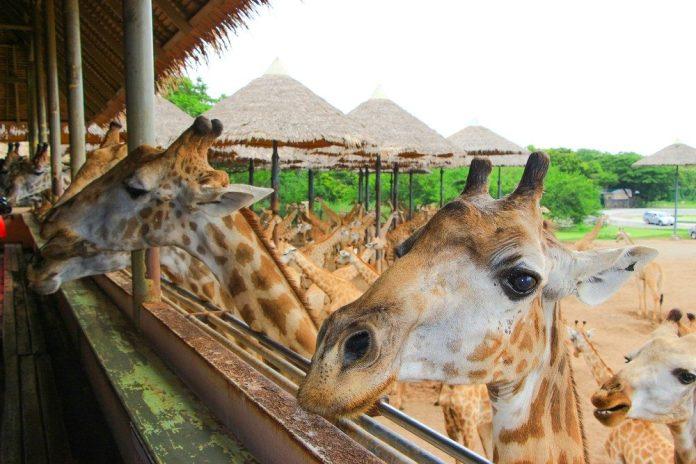 Safari World長頸鹿