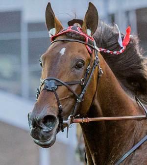 Robert Bi har en spærregrime på, der skal forhindre hesten i at åbne munden , så den ikke kan pulle så hårdt.