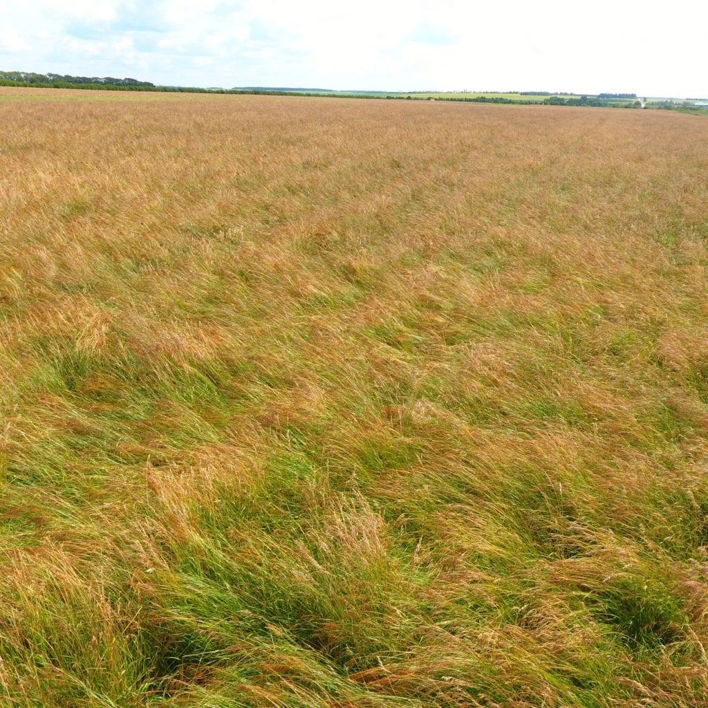 Brome grass field in Melfort, Saskatchewan, Canada