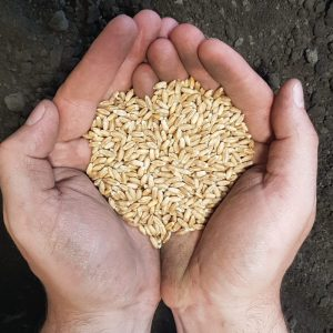 Fridge Winter Triticale in hand ready to seed