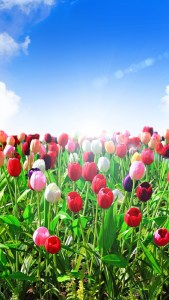 Tulips Meadow Samsung Galaxy S21 UHD Wallpapers Download