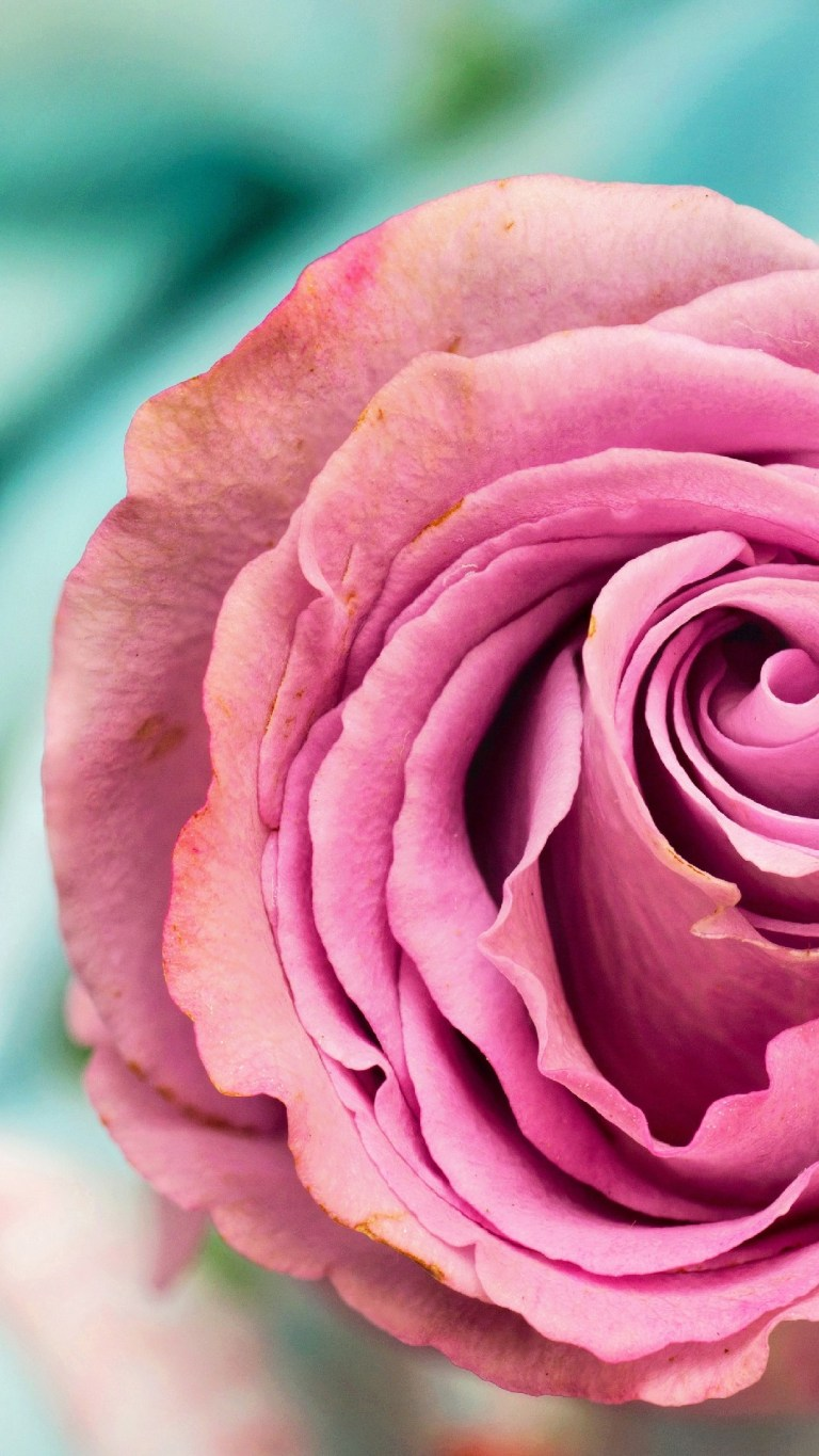 Beautiful Pink Rose Android 4K Wallpapers Download