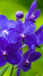 Blue Orchid Flower 720X1280 Wallpapers Download