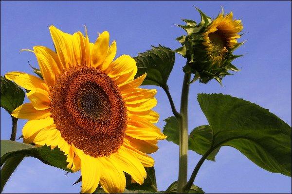 Die Sonnenblume: Schön und gesund