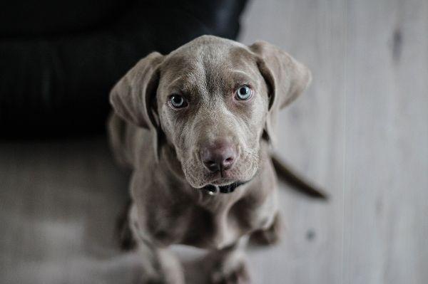 Hunde-Alzheimer: Zwei Drittel der Ü15 betroffen
