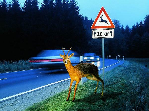 Wildtier an einer Bundesstraße