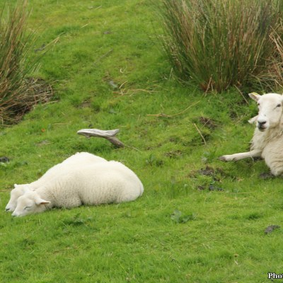 I enjoyed seeing the little lambs scamper behind their mothers.