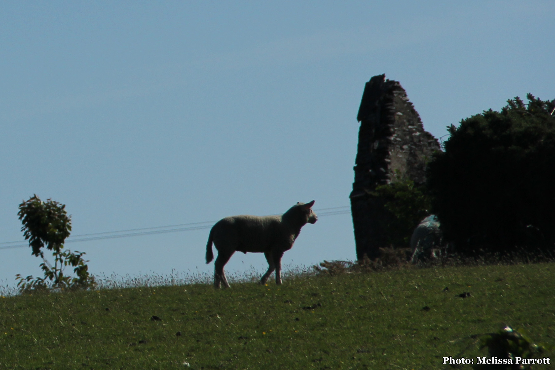 Sheep grazing near ruins
