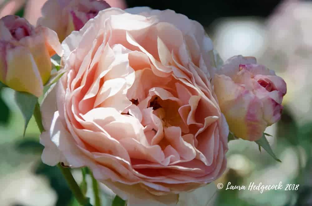 beautiful average rose