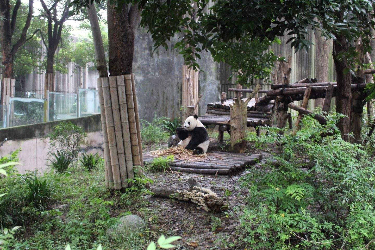 Visting Chengdu's Giant Panda Base