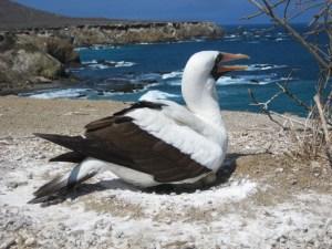 A bird from Isla de la Plata off the coast of Puerto Lopez in Ecuador!